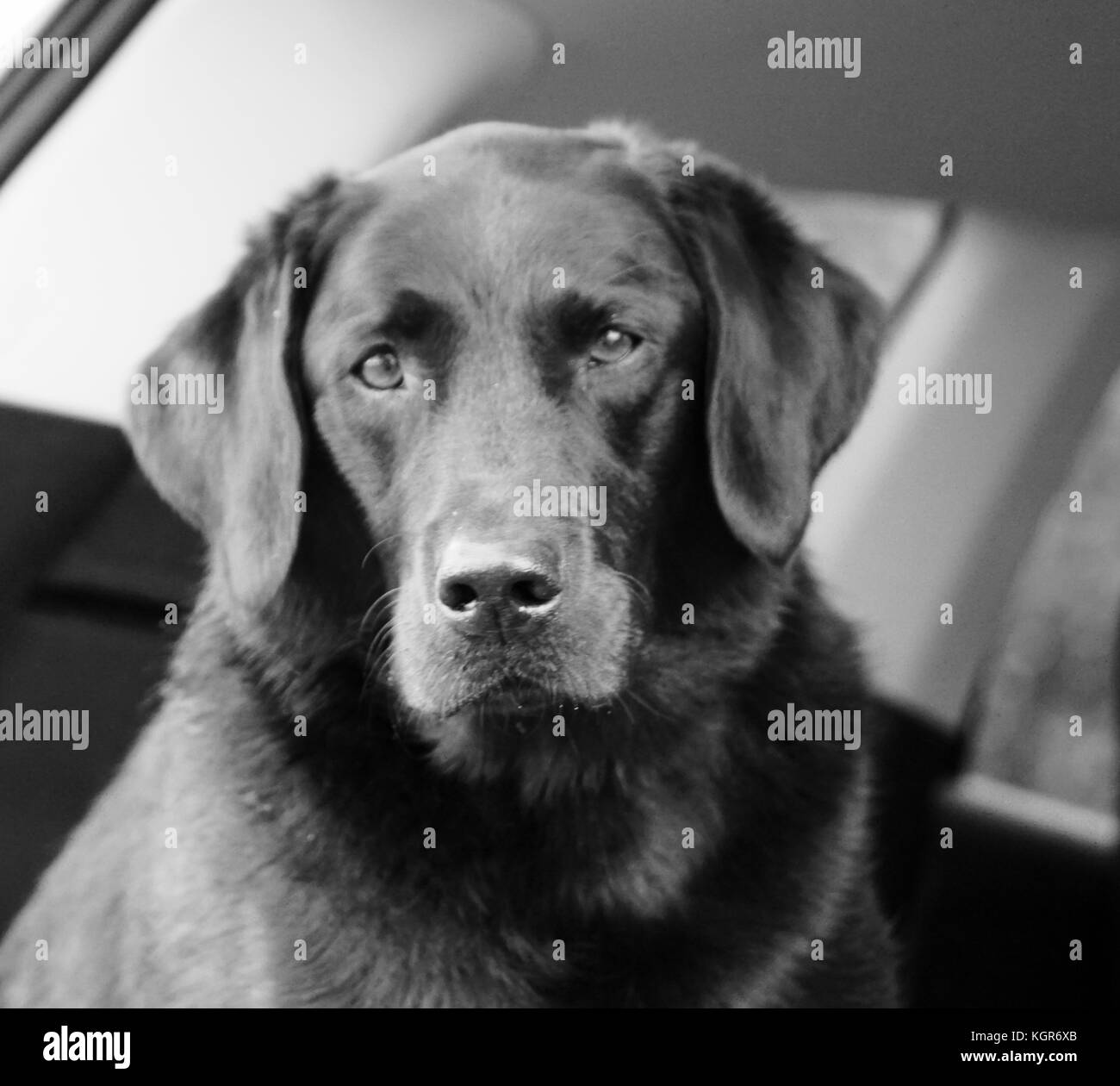 Black and white head shot of adult black Labrador - Stock Image
