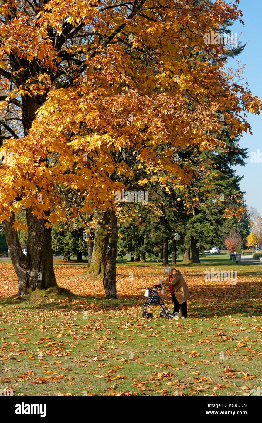 Elderly woman using a support walker under a colorful maple tree in the autumn, Locarno Beach Park, Vancouver, BC, - Stock Image