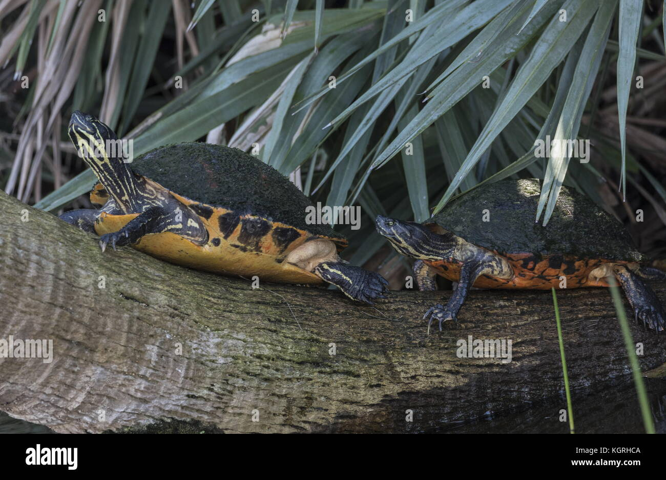 Florida red-bellied cooters, or Florida redbelly turtle, Pseudemys nelsoni basking on a log; Everglades, Florida. Stock Photo