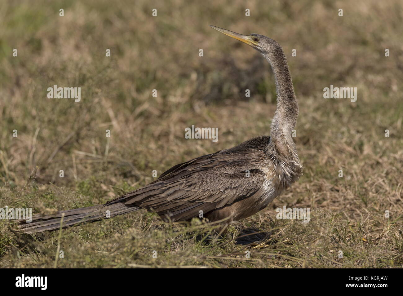 Anhinga, Anhinga anhinga, in Florida. - Stock Image