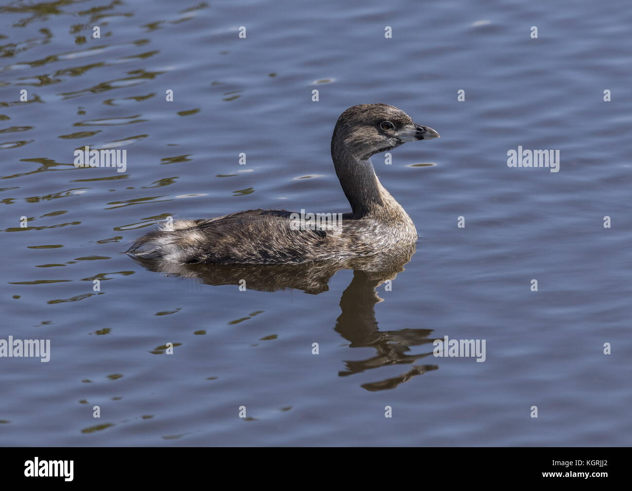 Pied-billed grebe, Podilymbus podiceps, on water surface after diving. Florida, winter. - Stock Image