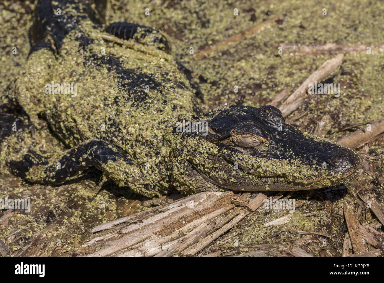 American alligator, Alligator mississippiensis, covered with duckweed, basking. Florida. - Stock Image