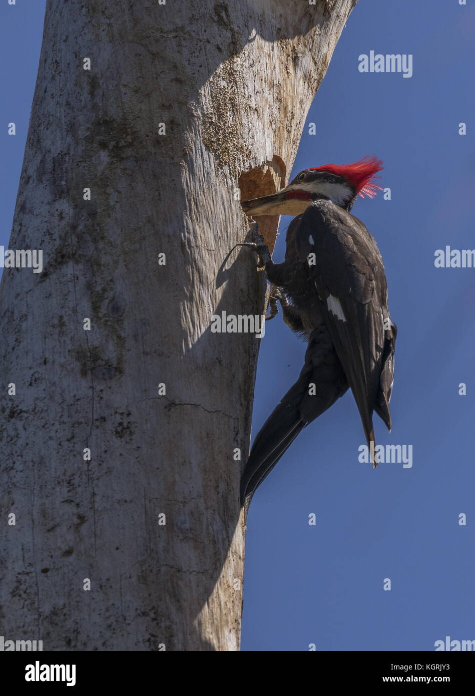 Male Pileated woodpecker, Dryocopus pileatus, at nest hole in old tree, Florida. - Stock Image