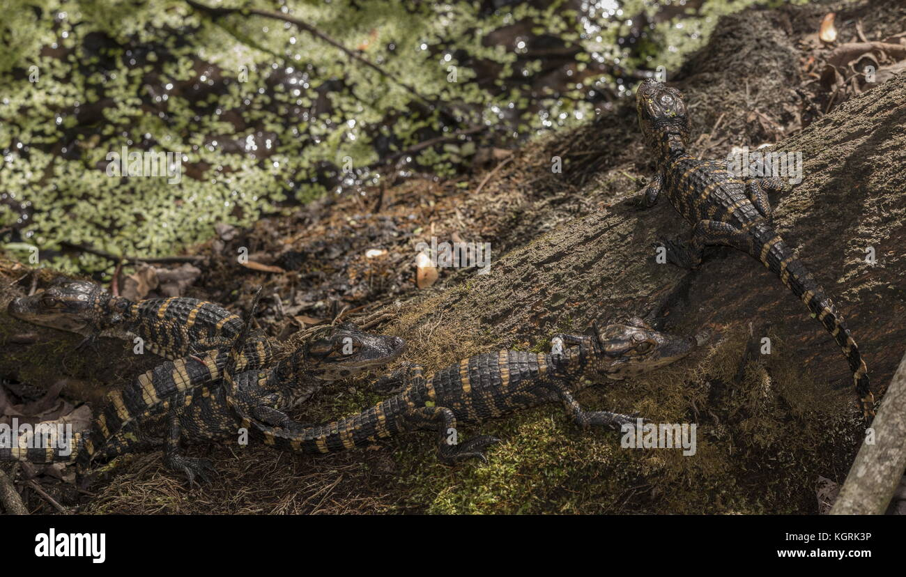 Young American alligators, Alligator mississippiensis, clustered together in 'nursery'. Florida. - Stock Image