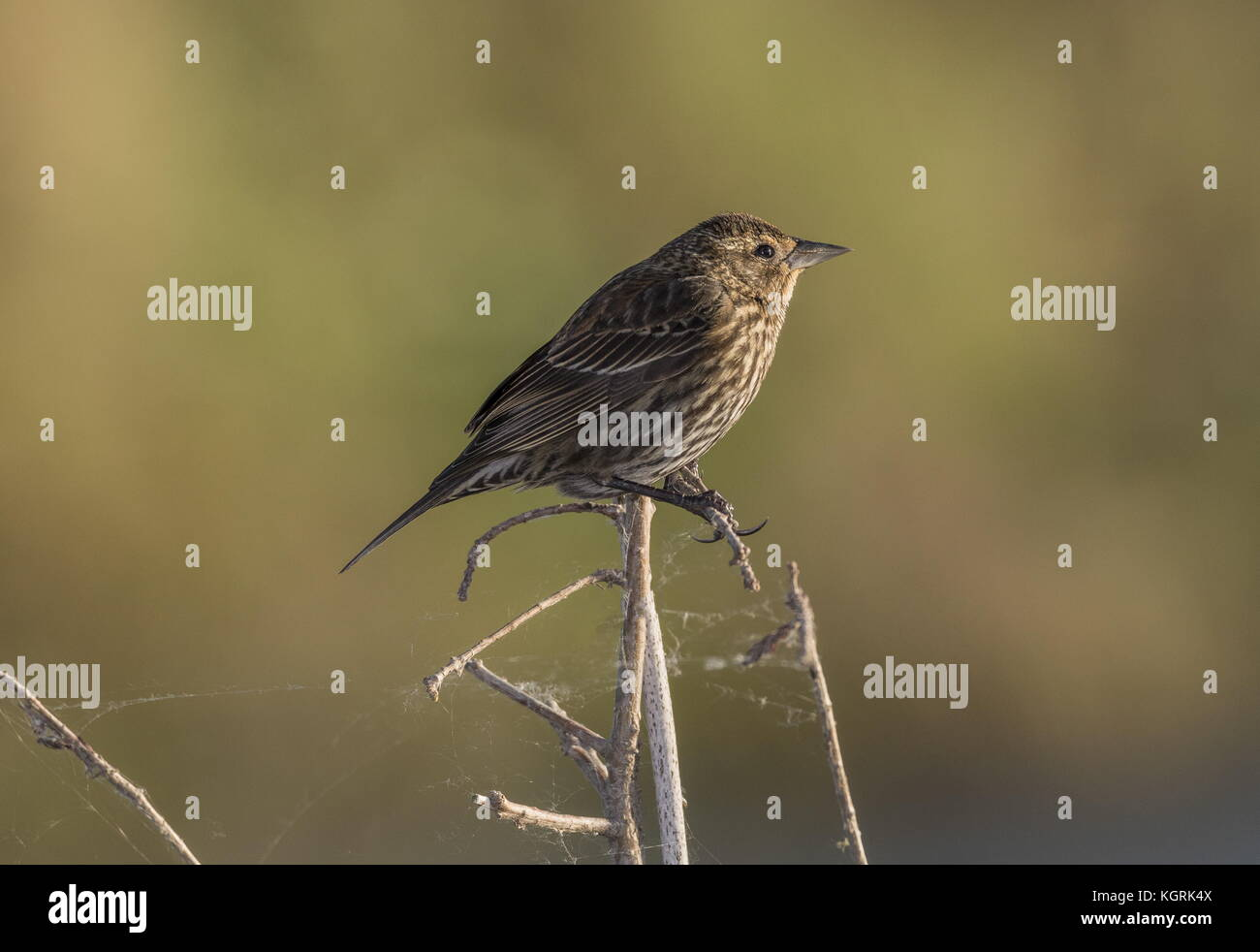 Savannah sparrow, Passerculus sandwichensis, in winter plumage, perched on waterside vegetation. Florida. Stock Photo