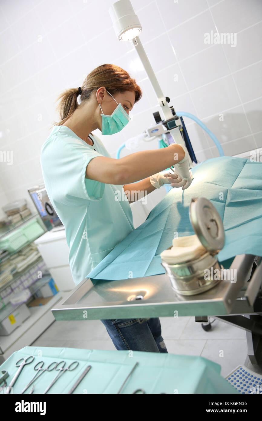 Veterinarian doing surgery on animal - Stock Image