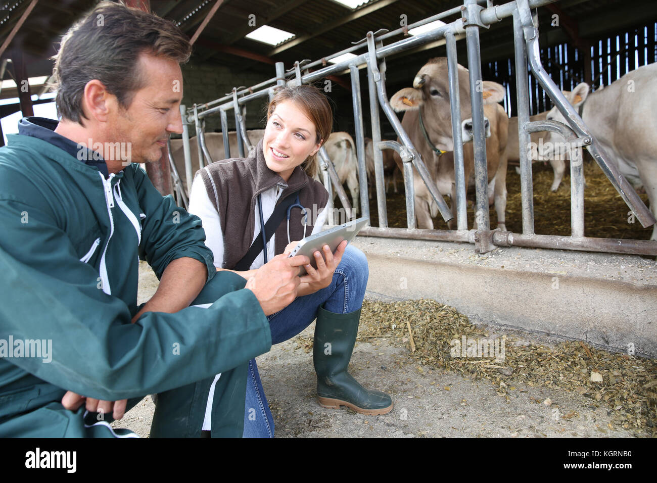 Veterinarian with breeder checking on herd - Stock Image