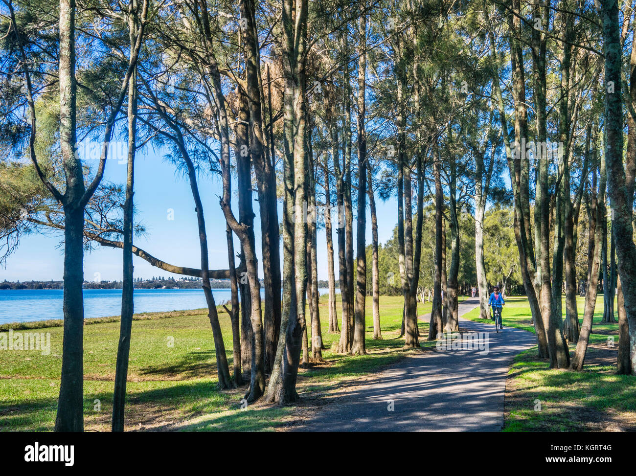 Australia, New South Wales, Central Coast, Killarney Vale, stand of cypress pines at the Phillip Pritchard cycleway - Stock Image