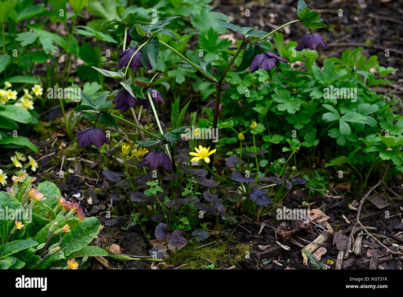 Black, hellebore, helleborus, hellebores, Ranunculus ficaria Brazen Hussy, yellow, flowers, flowering, bloom, blooming, Stock Photo