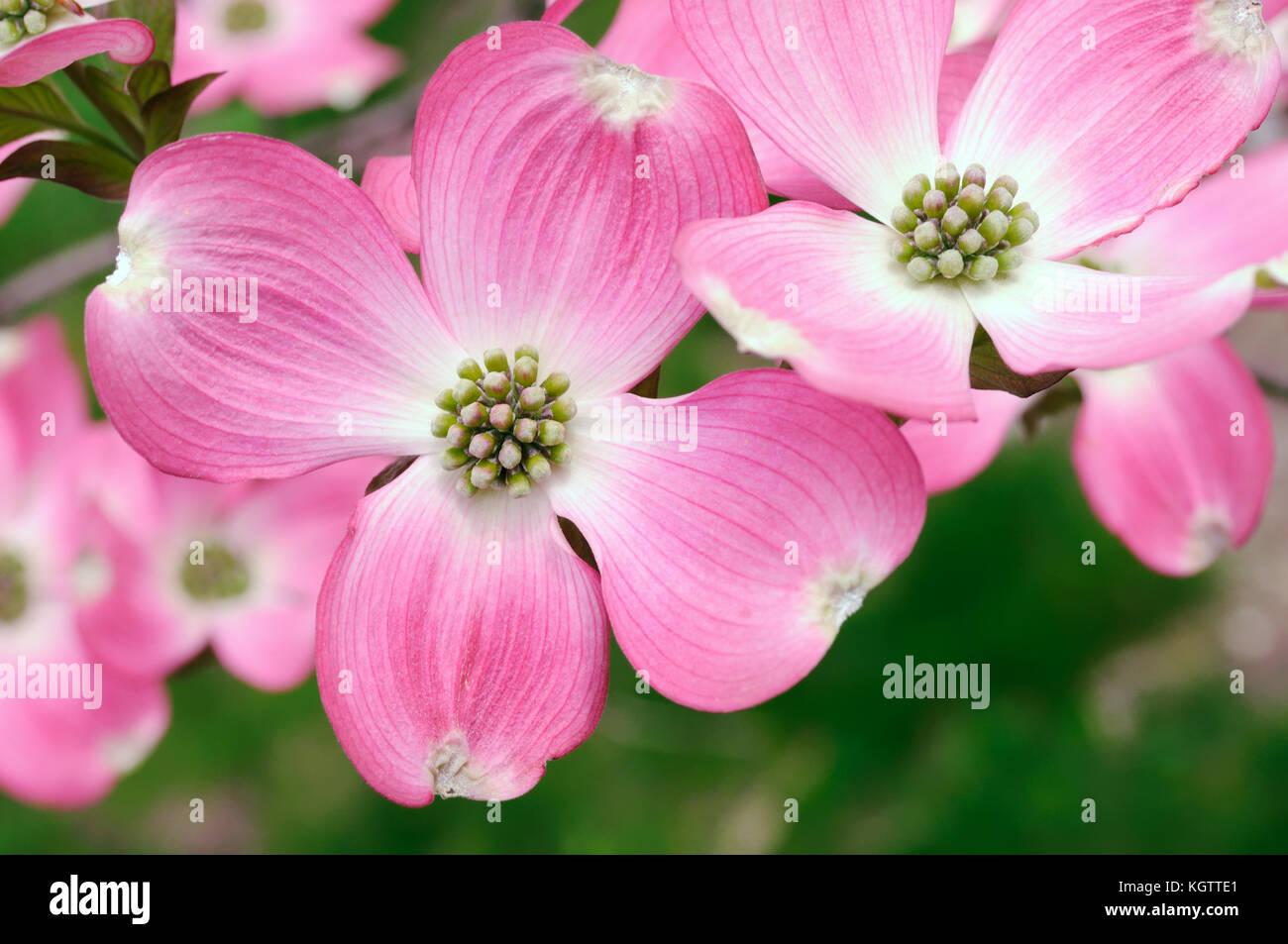 Pink Flowering Dogwood Stock Photos Pink Flowering Dogwood Stock
