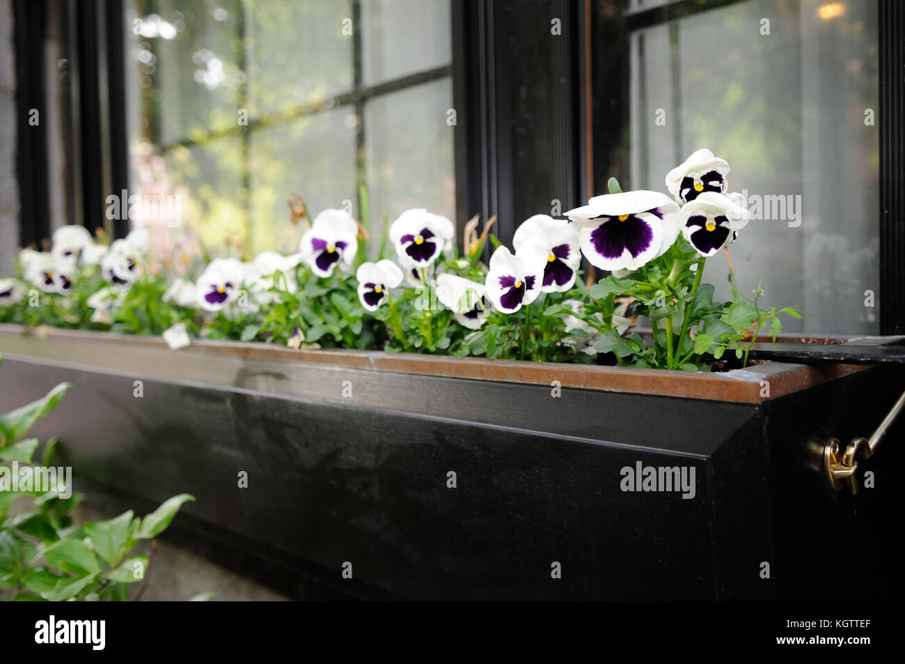 Elegant window box with pansies, very common in Beacon Hill, Boston - Stock Image