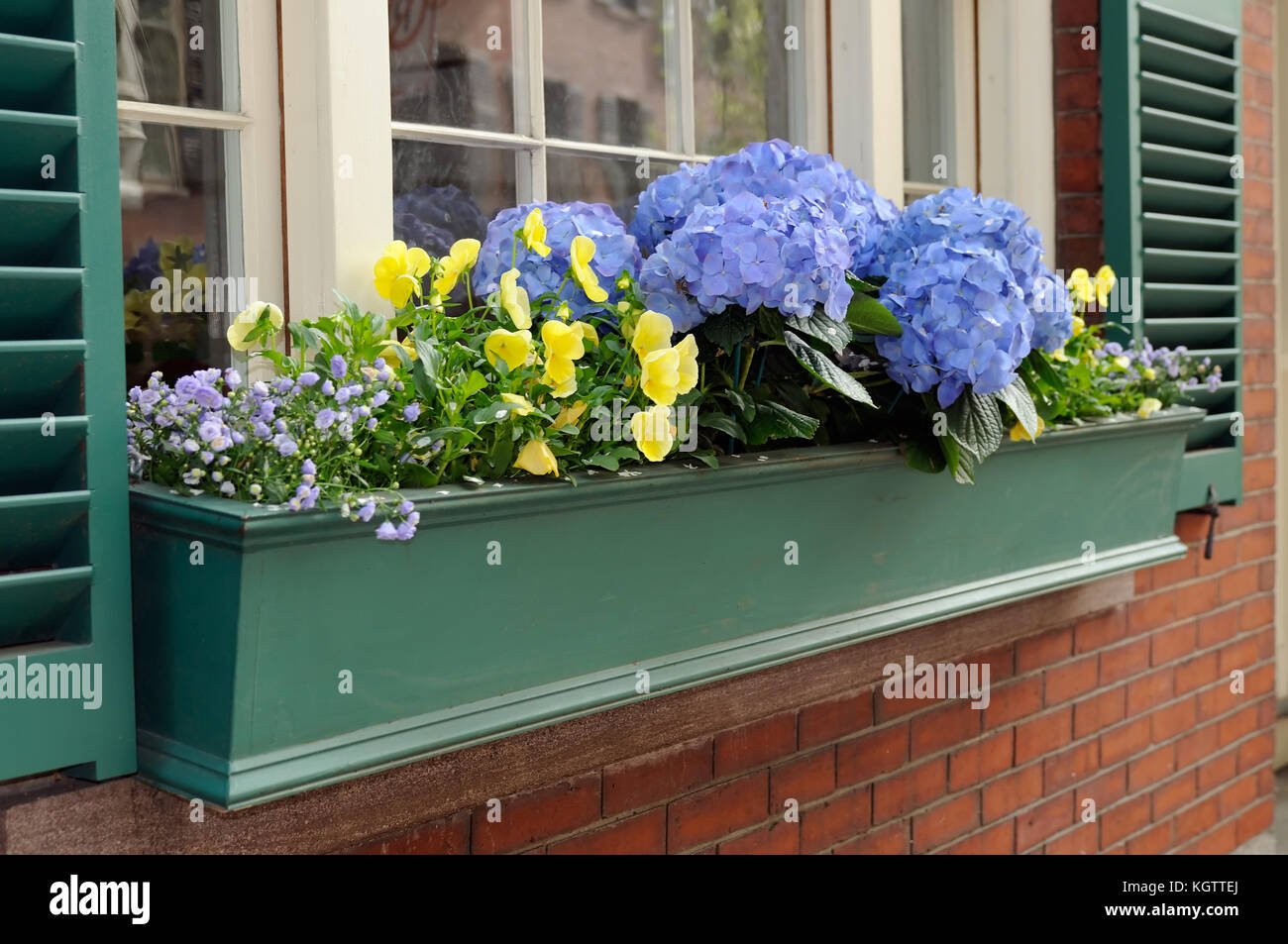 Green window box with blue hydrangeas and yellow pansies. Container garden in the city - Stock Image