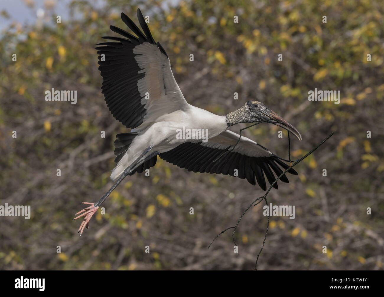 Wood stork, Mycteria americana, in flight carrying nesting material in nesting colony, South Florida. - Stock Image