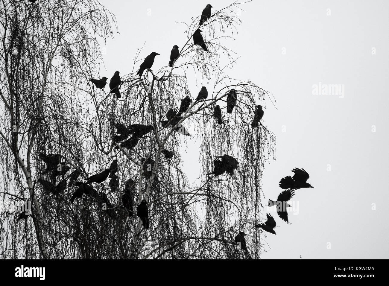 A flock of crows sitting on the tree during the gloomy winter day. Stock Photo