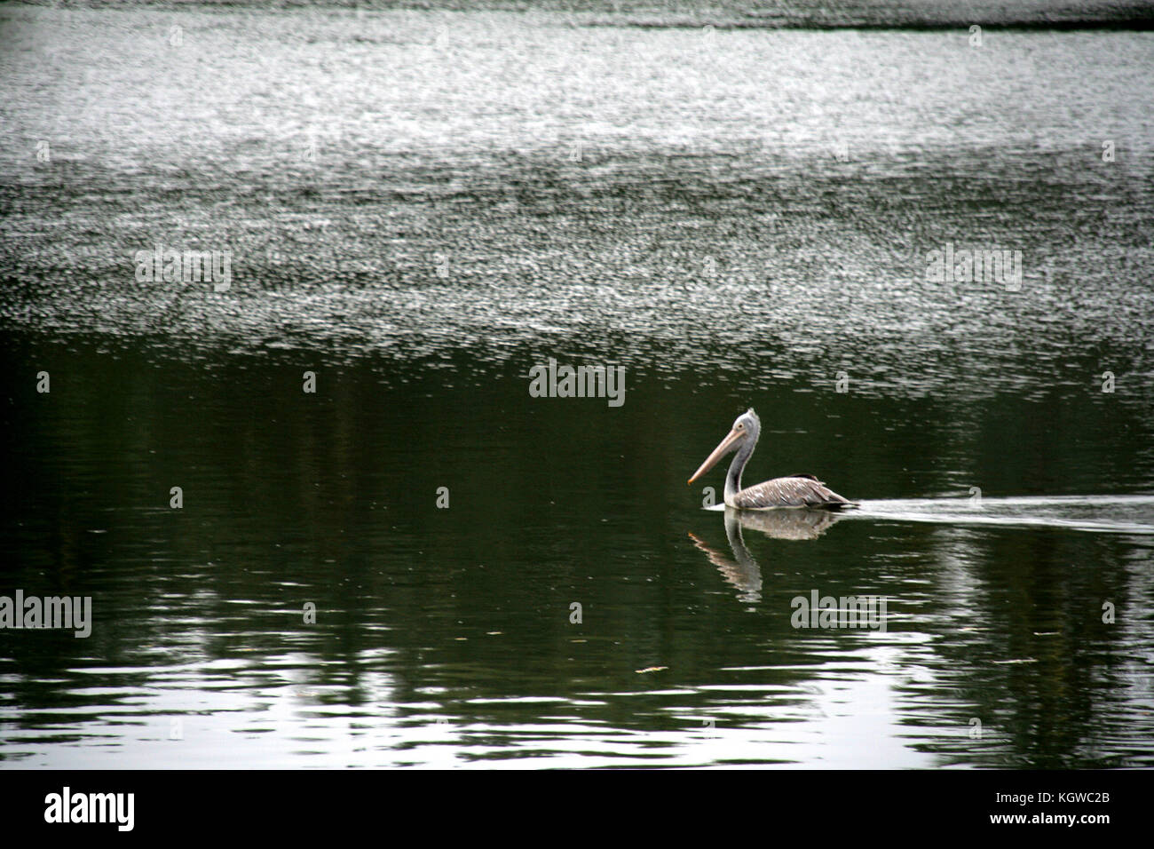 Swan, white water bird with long neck and beak, swimming swiftly in a lake - Stock Image