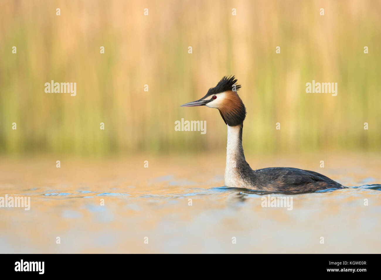 Great Crested Grebe ( Podiceps cristatus ) swimming, stretching its neck, raised head, attentive, in front of bright - Stock Image