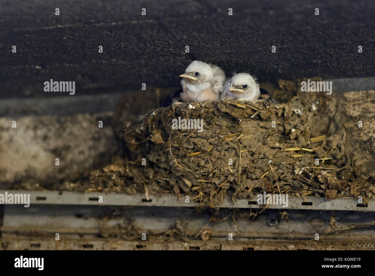 Barn Swallows ( Hirundo rustica ), young chicks in nest, two with rare pigment defect, white plumage, leucistic, - Stock Image