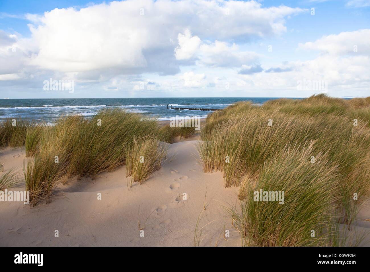 Netherlands, Zeeland, sand-sedge at the beach in Oostkapelle on the peninsula Walcheren.  Niederlande, Zeeland, - Stock Image
