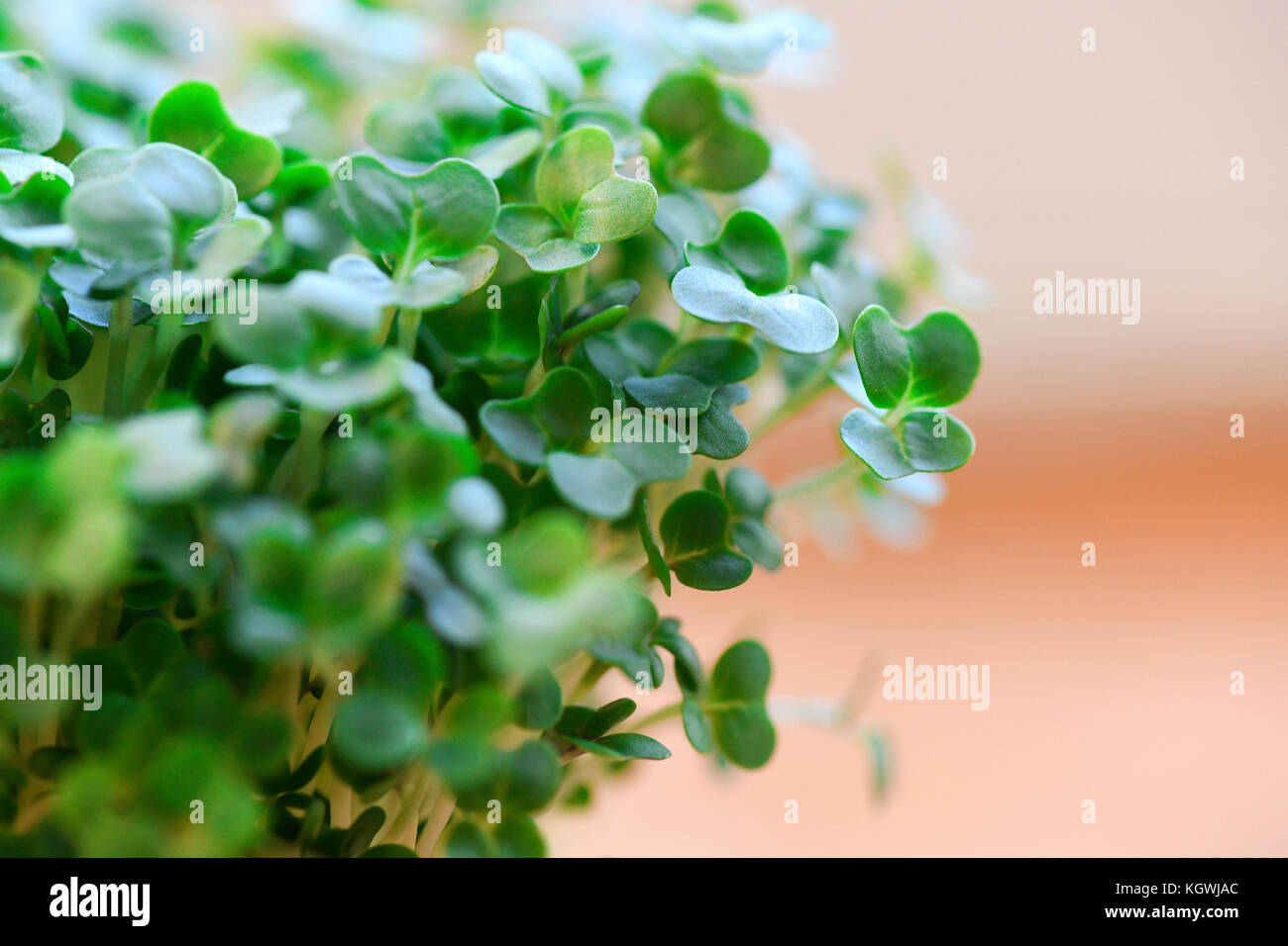 macro image of organic cress used for salads and plant based meals a herb with health benefits , shot in a selective - Stock Image