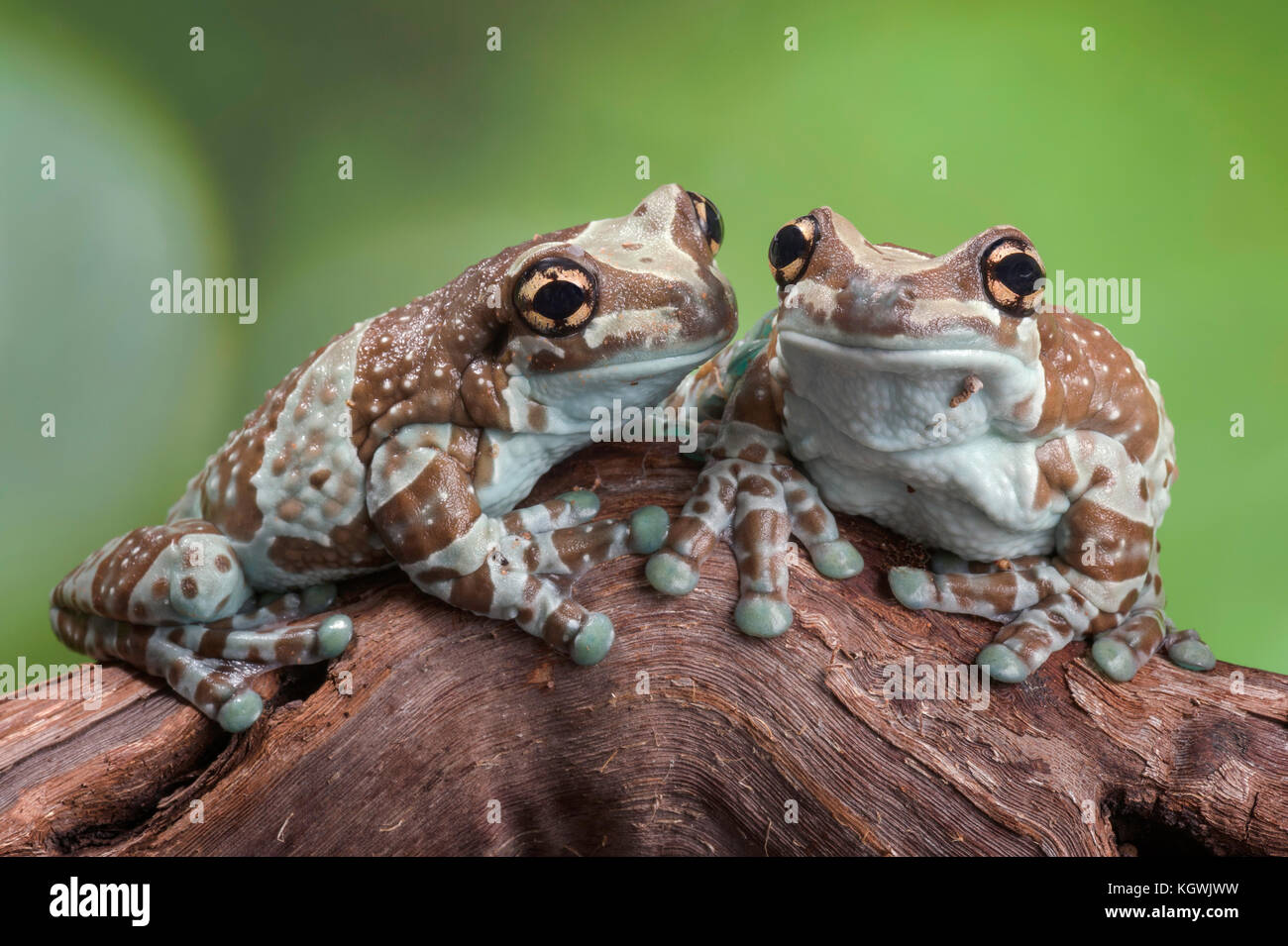 A pair of Amazon Milk Frogs sitting on a log. - Stock Image