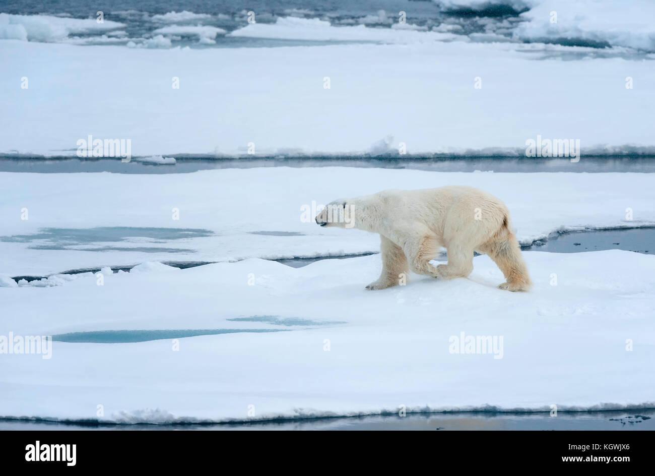 Polar Bear Walking on sea ice Stock Photo