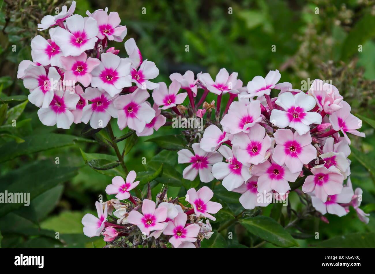 Pink phlox paniculata flower in full bloom at perennial garden stock pink phlox paniculata flower in full bloom at perennial garden sofia bulgaria mightylinksfo