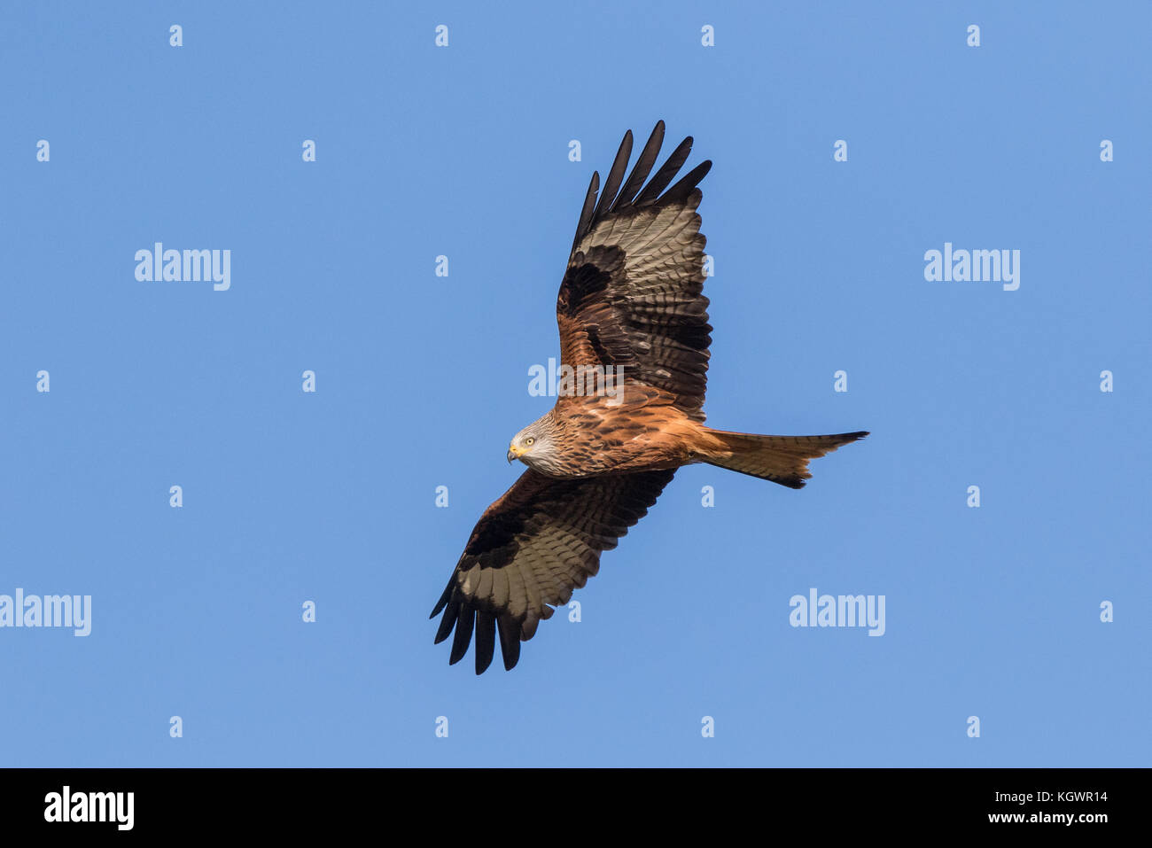 White headed Vulture - Stock Image