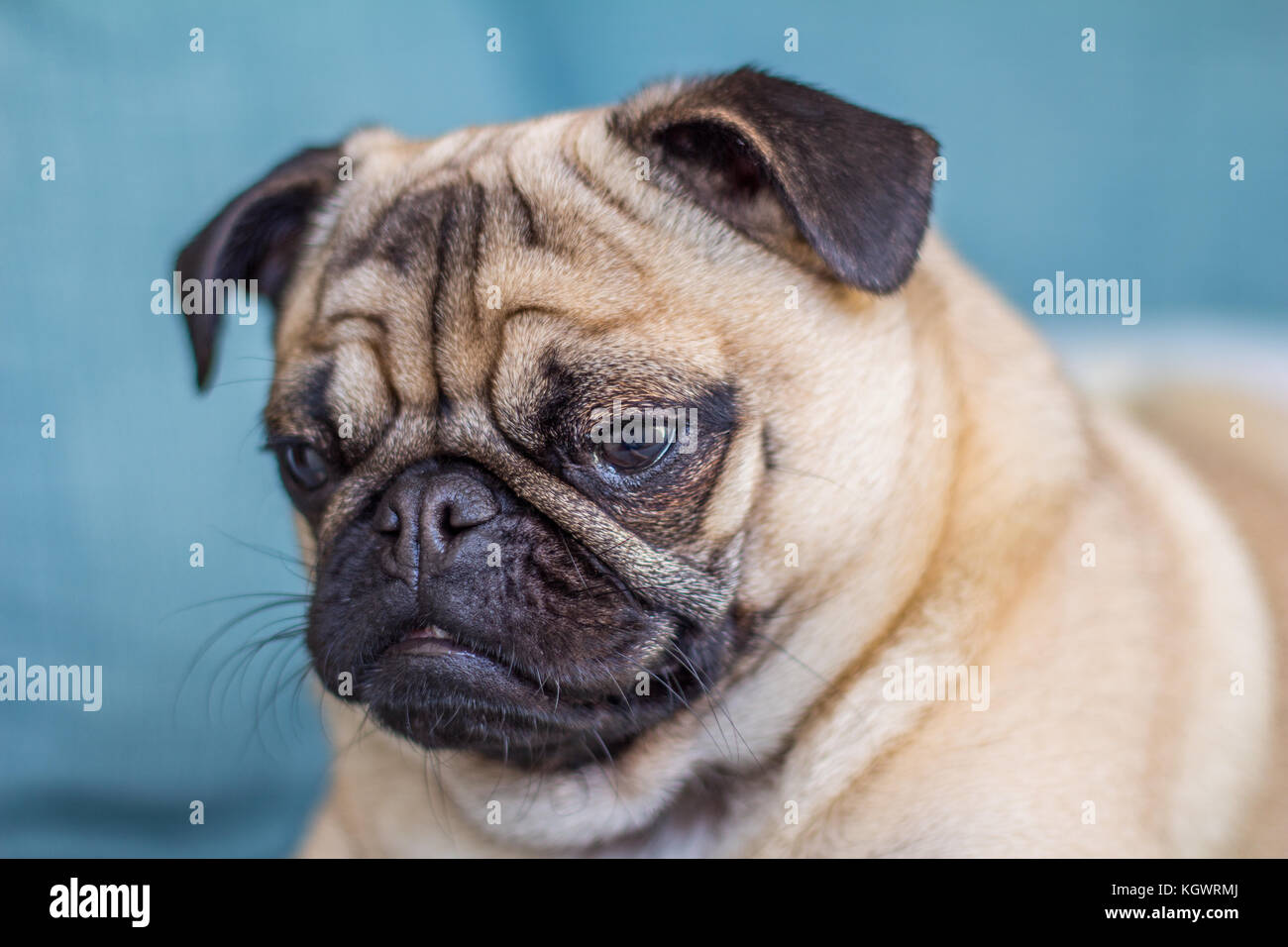 Hank the Pug - Stock Image