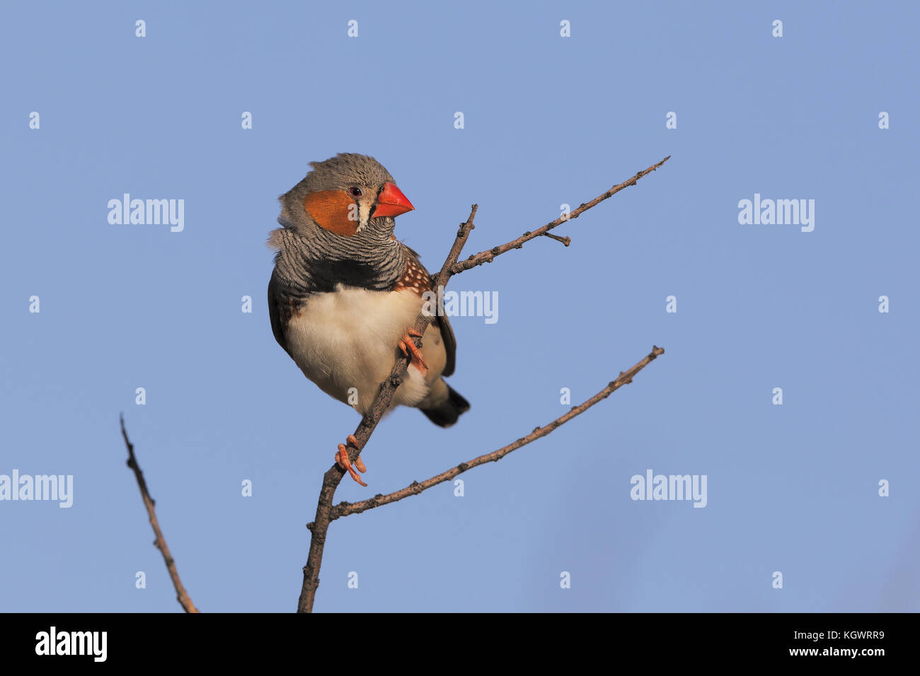 Zebra Finch perched in the Western Australia desert - Stock Image