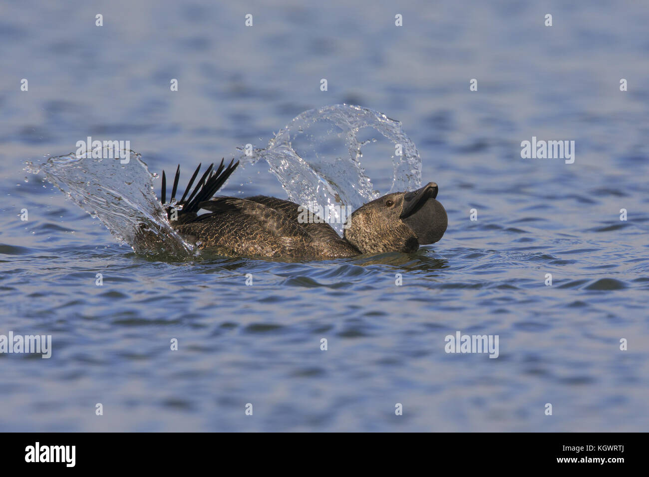 Musk duck drake displaying near a group of females, Lake Monger in Perth, West Australia - Stock Image