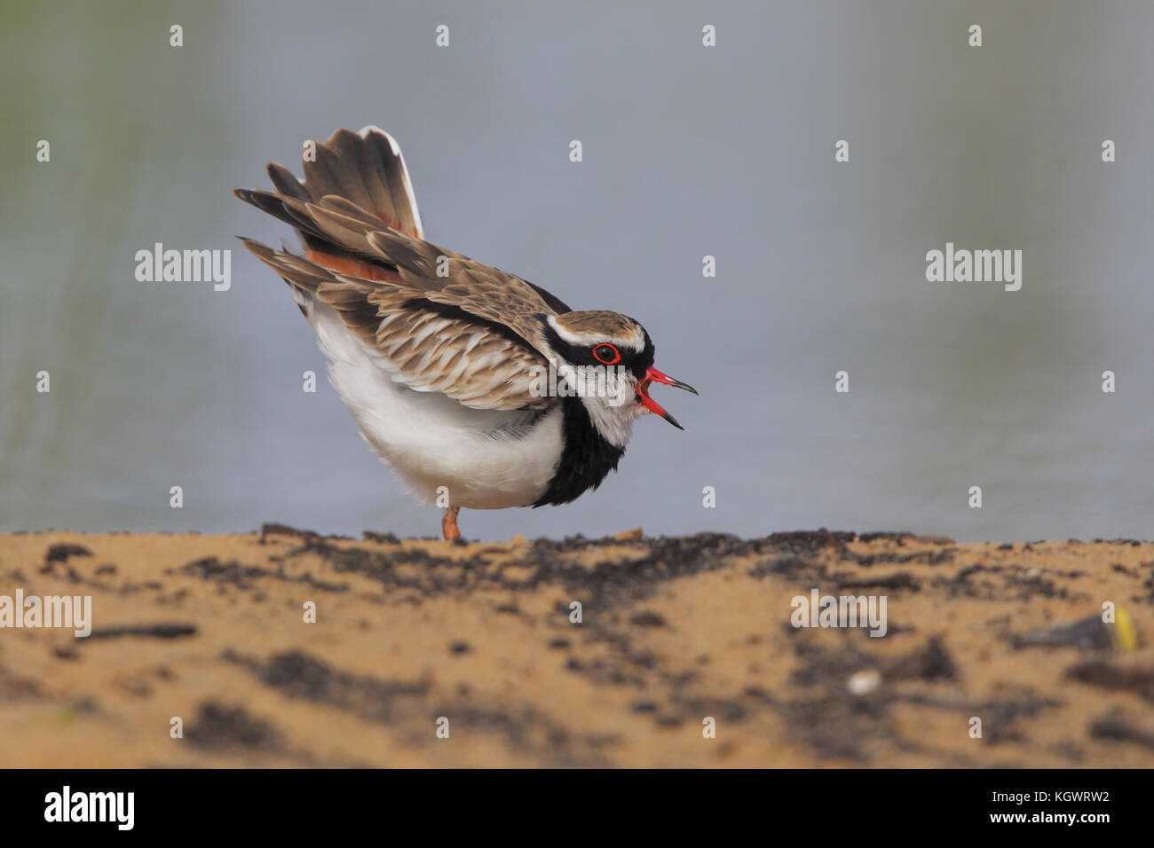 Black-fronted plover alarming near the nest for a raven passage - Stock Image
