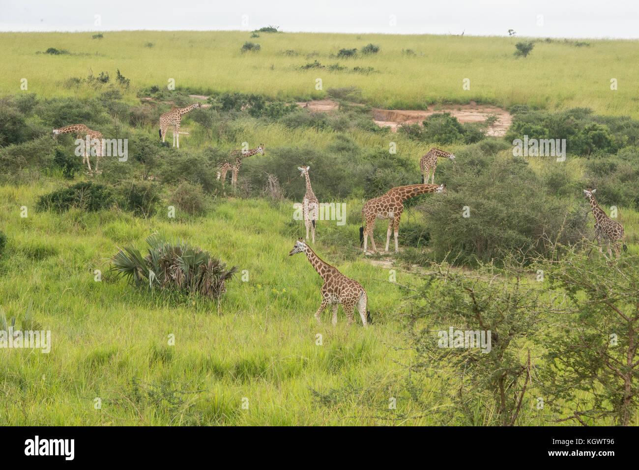 Group of Endangered Rothschild's giraffes feeding on trees in Murchison Falls National Park, Uganda. - Stock Image