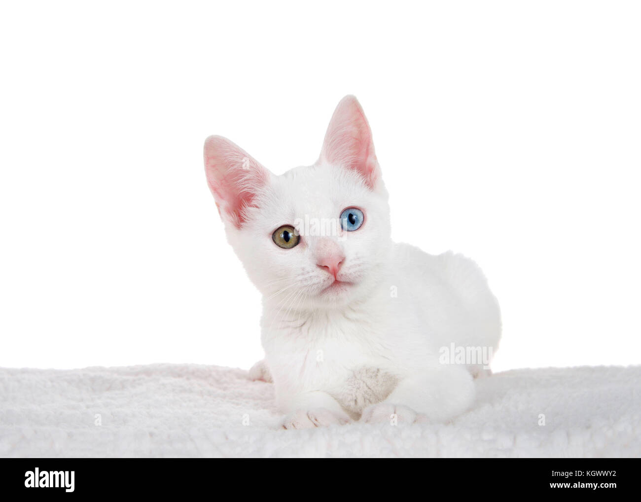 ee924d870682c1 Portrait of a white kitten with heterochromia or  odd-eyed  laying on a
