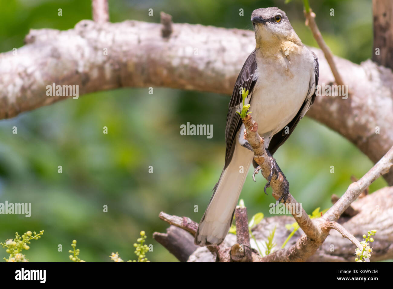 Northern Mockingbird Mimus Polyglottos Perched On A Tree Branch The Tropical Island Of