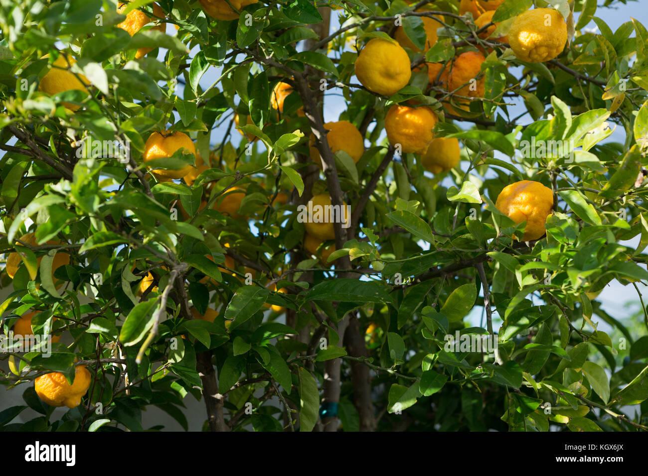 Ripe oranges on tree Stock Photo