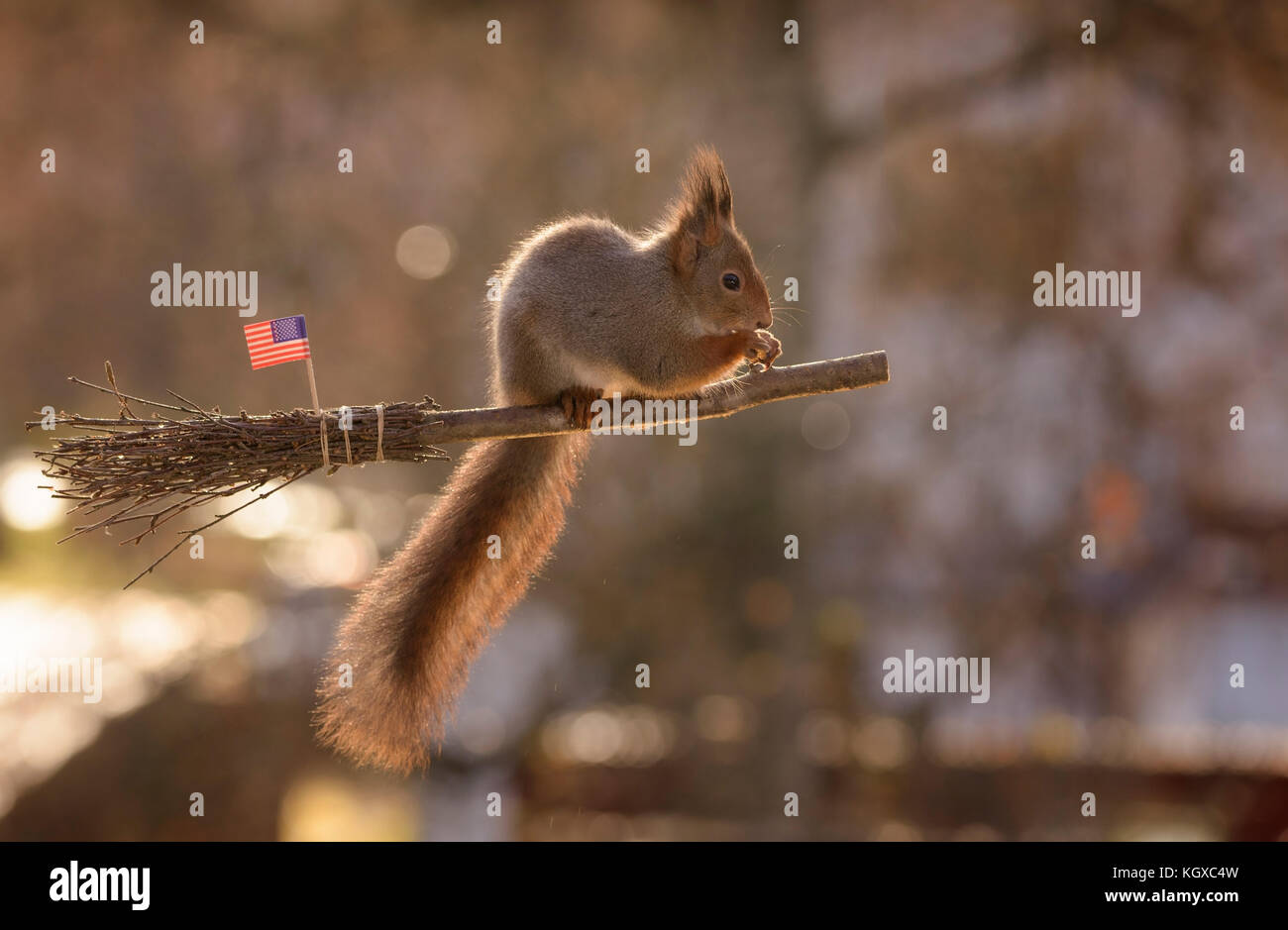 INCREDIBLE images have captured a group of Red squirrels indulging in a game of Harry Potter's favourite sport, - Stock Image