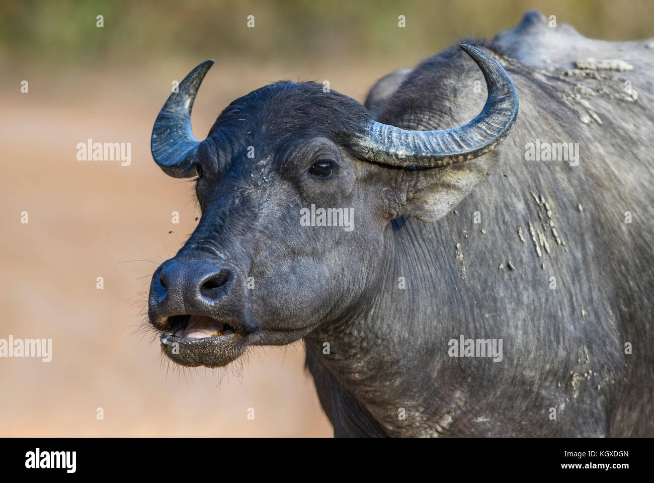 Sri Lankan Wild Buffalo - Bubalus arnee migona, Sri Lanka - Stock Image