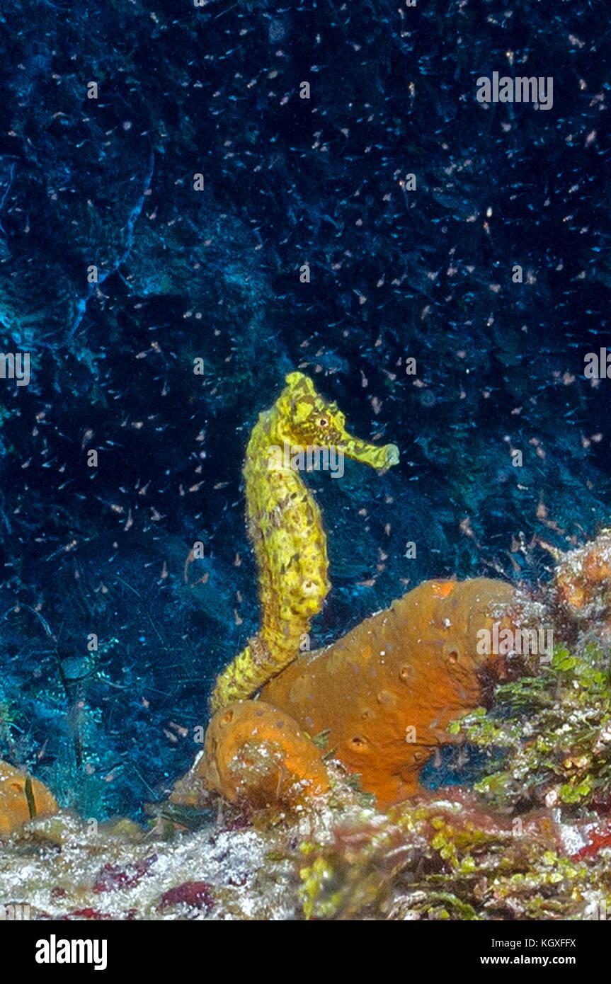 seahorse, yellow - Stock Image
