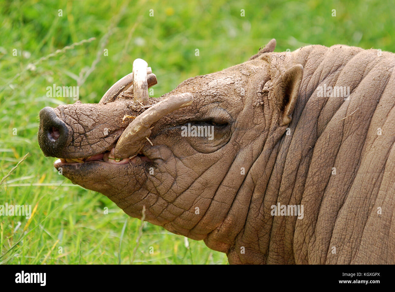 Barbirusa - Buru babirusa - Stock Image