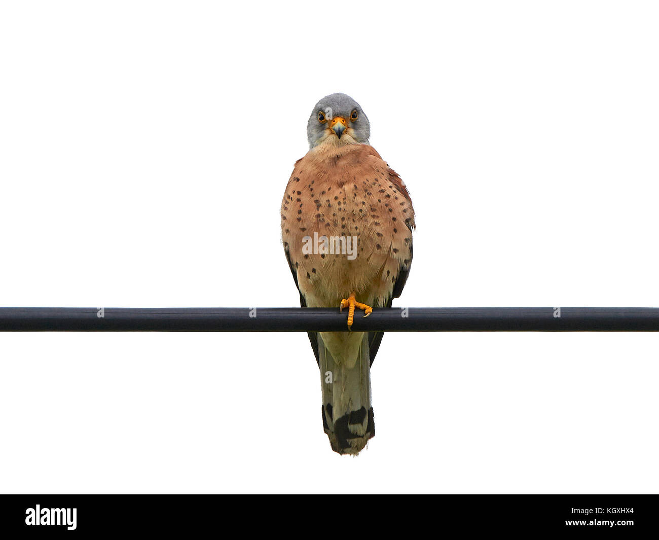 Bird Sitting On Wire Cut Out Stock Images & Pictures - Alamy