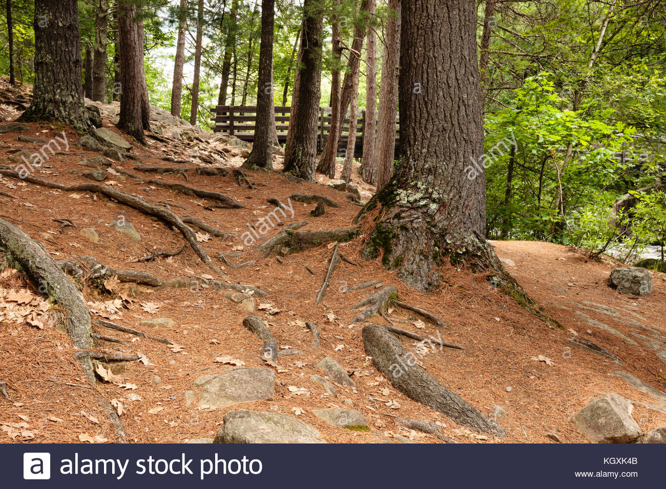 The pine needled forest shoreline of Pike River at Dave's Falls Marinette County Park, Amberg, Wisconsin in - Stock Image