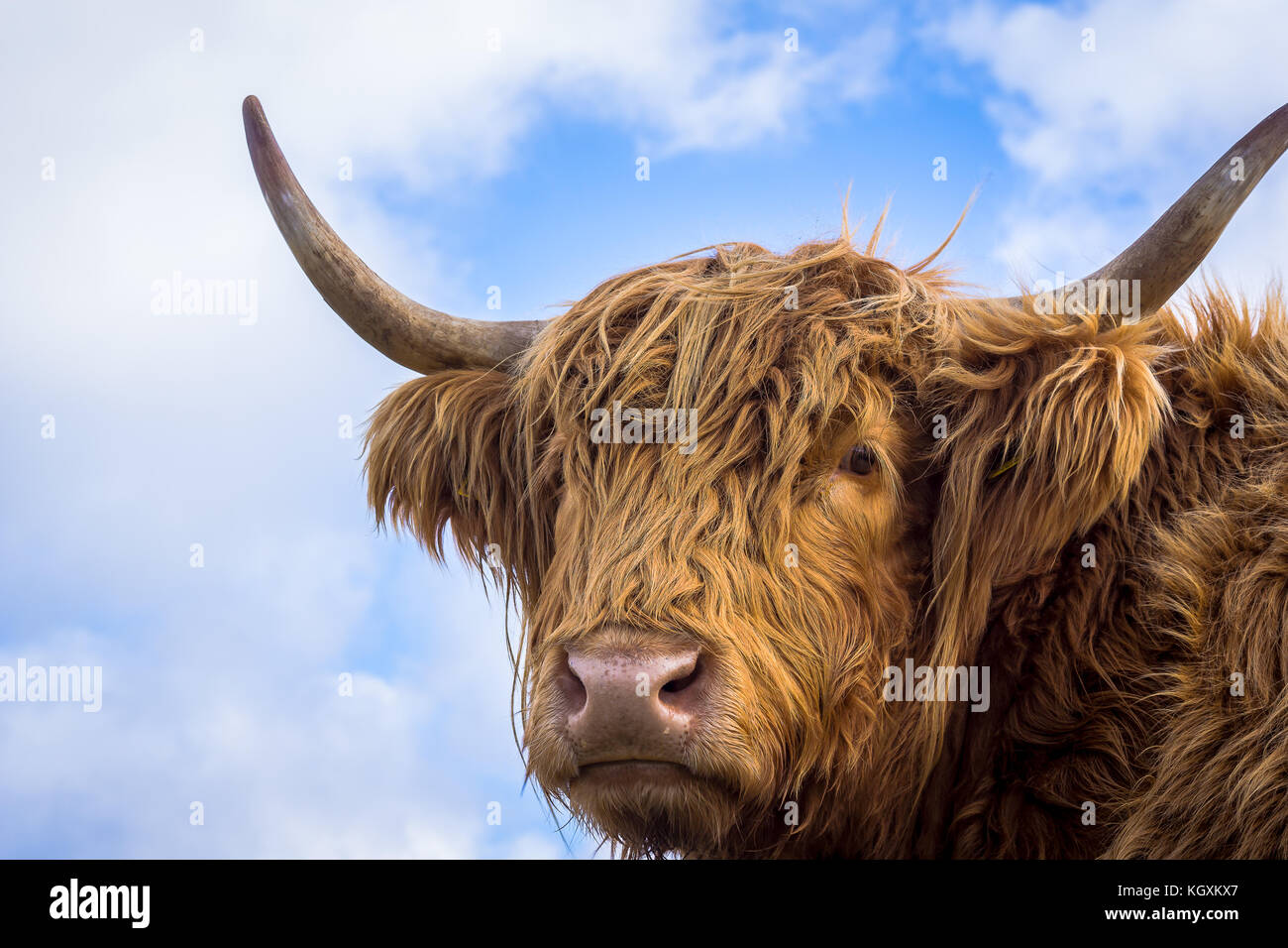 Brown long hair highland cow aginst the sky, looking into the camera, Sjaelland, Denmark, October 6, 2017 - Stock Image
