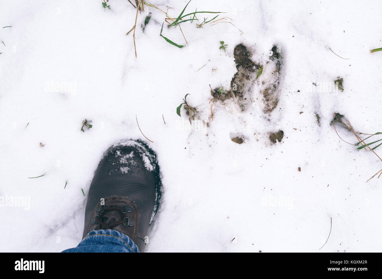Boar Footprint and Man's Left Foot in the Snow - Stock Image