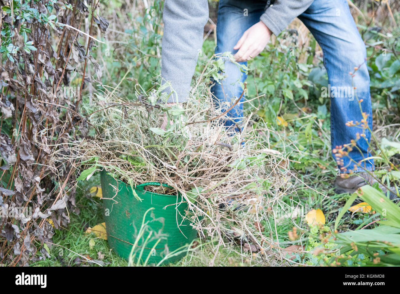 Cutting down old dead sweet pea plants in the garden in autumn - Stock Image