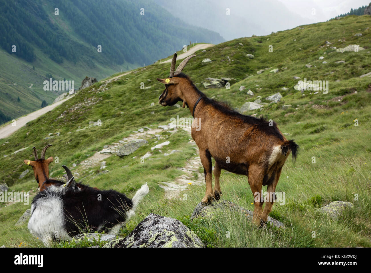 Goat family in the alps - Stock Image