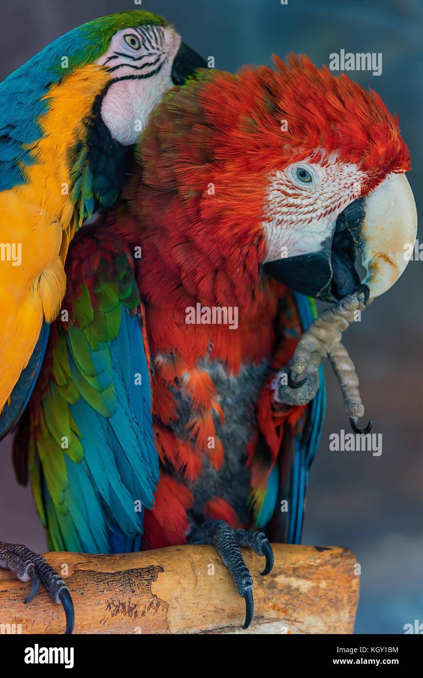 Hellroter Ara und Gelbbrustara sitzen auf einem Ast. Der Gelbbrustara krault den anderen, der an seiner Kralle nagt. - Stock Image