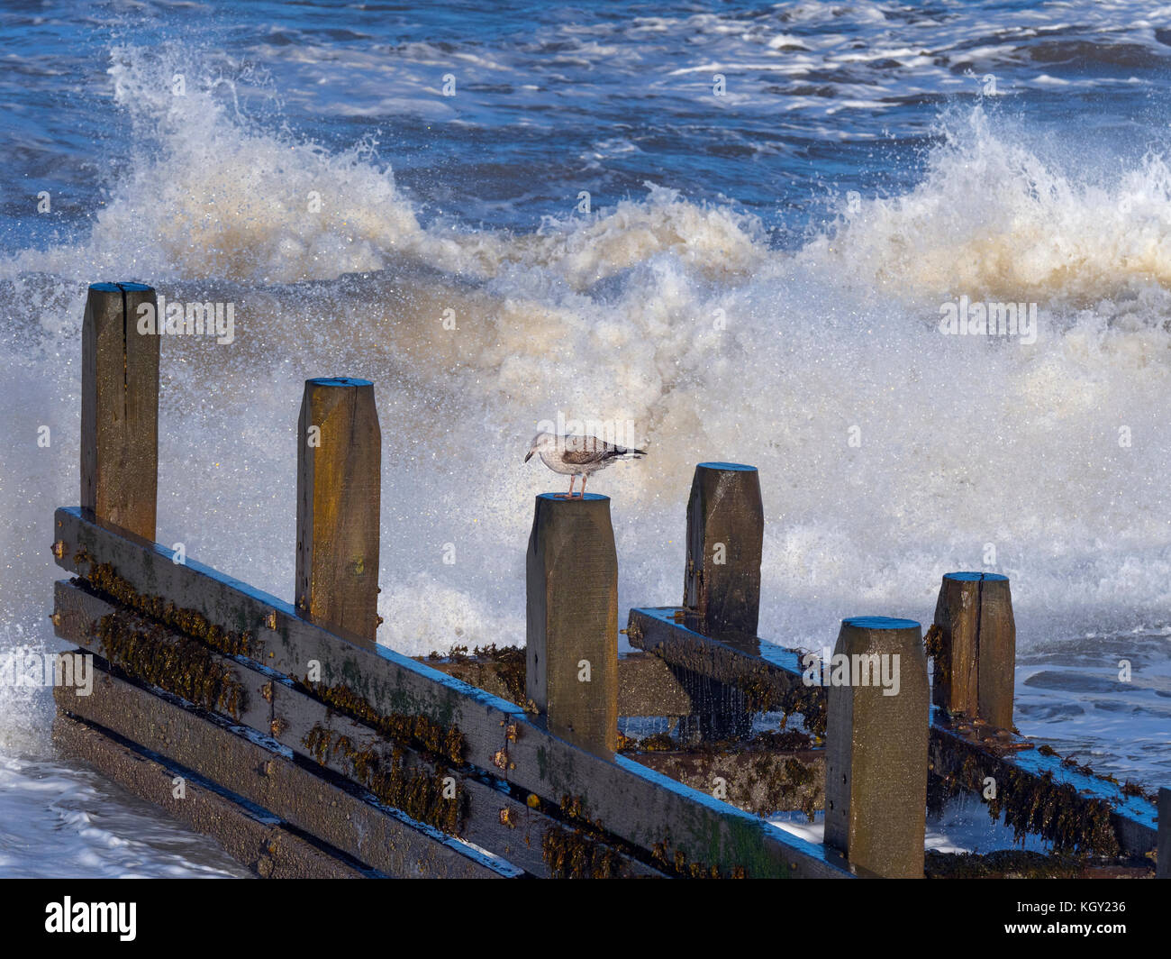 Herring Gull Larus agentatus Immature perched on breakwater with incoming wave in autumn storm - Stock Image