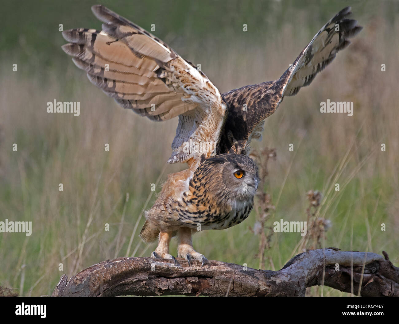 Eurasian eagle-owl (Bubo bubo) On Takeoff - Stock Image