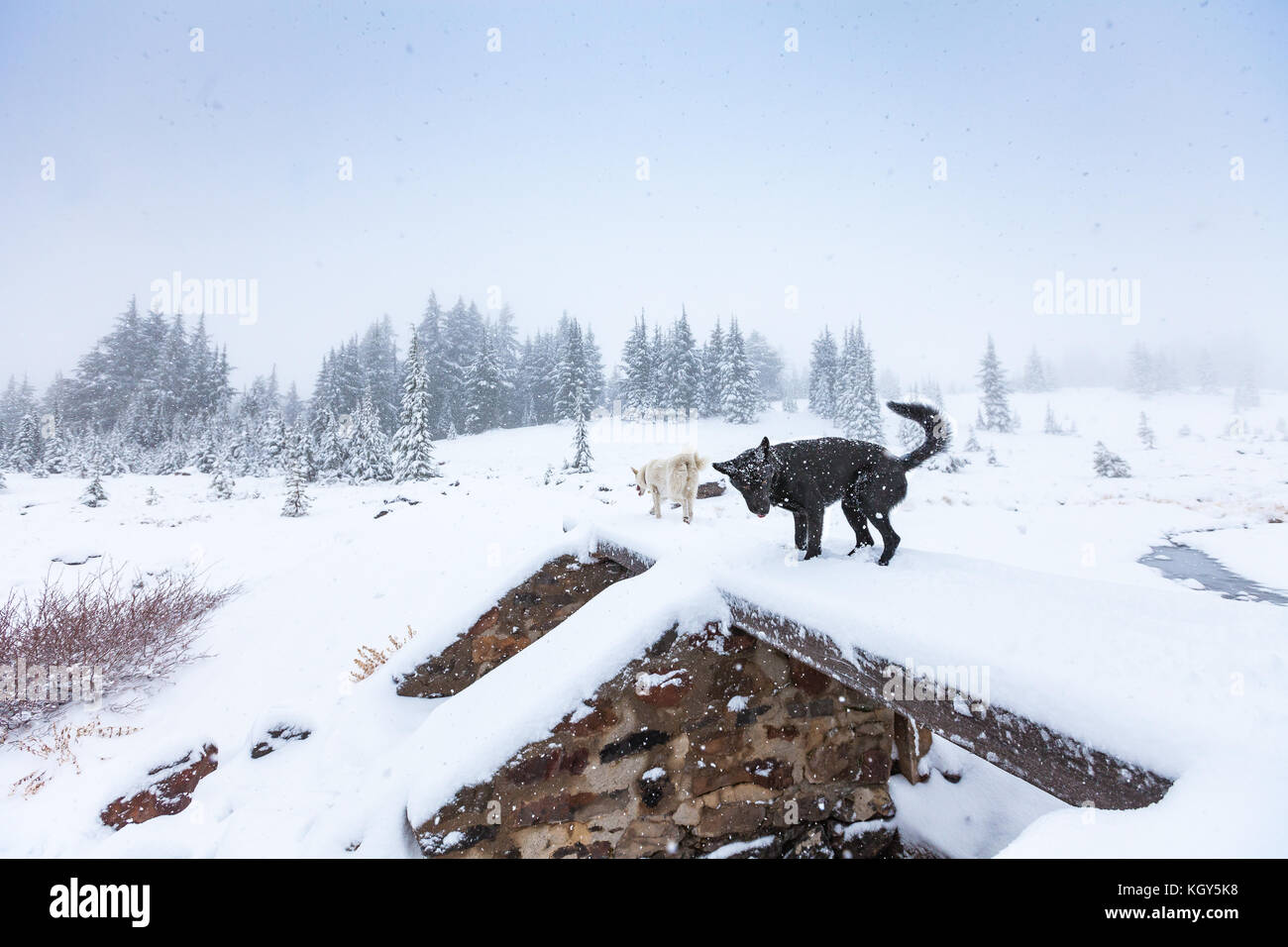 Dogs cross a snowy bridges during a winter storm in the wilderness of Bend, Oregon. - Stock Image