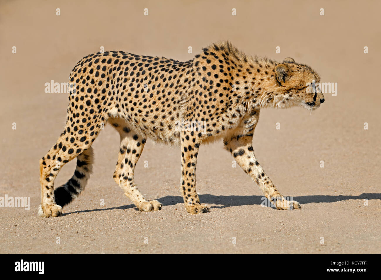A cheetah (Acinonyx jubatus) stalking prey, South Africa - Stock Image